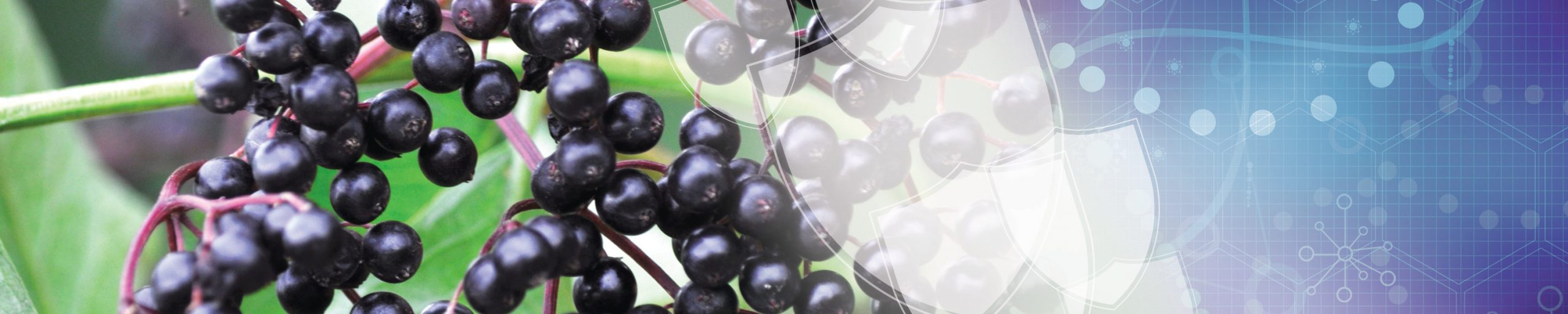 Choosing the Best Quality Immune-Boosting Elderberry Ingredient (Infographic)